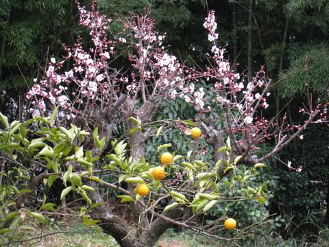 Ume blossom2