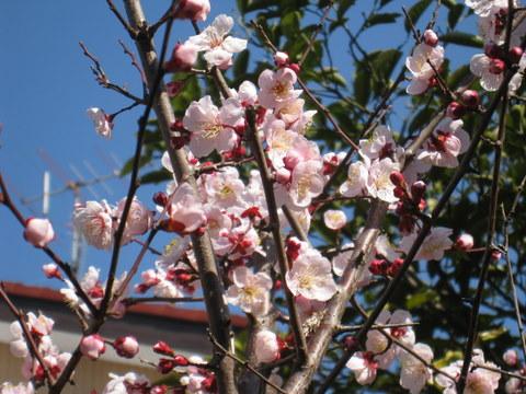 Ume Blossom3